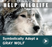 Help Wildlife. Symbolically adopt a gray wolf today!