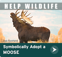 Adopt a Moose today