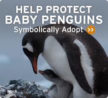 Help Wildlife. Symbolically adopt a baby pengiun today!