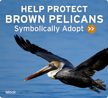 Help Wildlife. Symbolically adopt a pelican today!