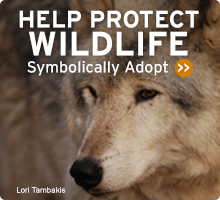 Help Wildlife. Symbolically adopt an animal today!