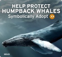 Help Wildlife. Symbolically adopt a humpback whale today!