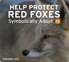 Help Wildlife. Symbolically adopt a red fox today!