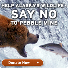 Help Alaska's wildlife - say no to pebble mine