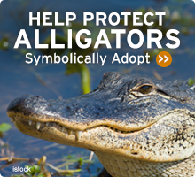 Help Wildlife. Symbolically adopt an alligator today!