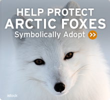 Help Wildlife. Symbolically adopt an arctic fox today!