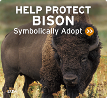 Help Wildlife. Symbolically adopt a bison today!