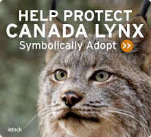 Help Wildlife. Symbolically adopt a lynx today!