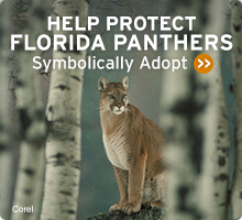 Help Wildlife. Symbolically adopt a florida panther today!