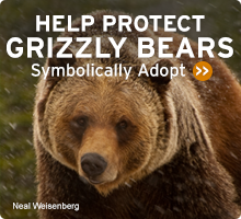Help Wildlife. Symbolically adopt a grizzly bear today!