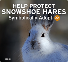 Help Wildlife. Symbolically adopt a snowshoe hare today!