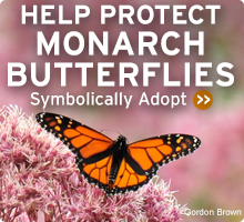 Learn more about the Monarch Butterfly!